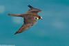 ELEONORA'S FALCON Falco eleonorae by Rich Andrews