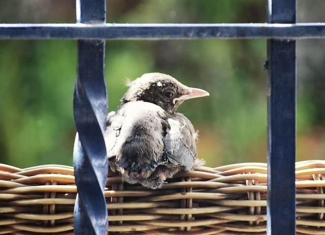 Mirlo común (pollo) - Turdus merula