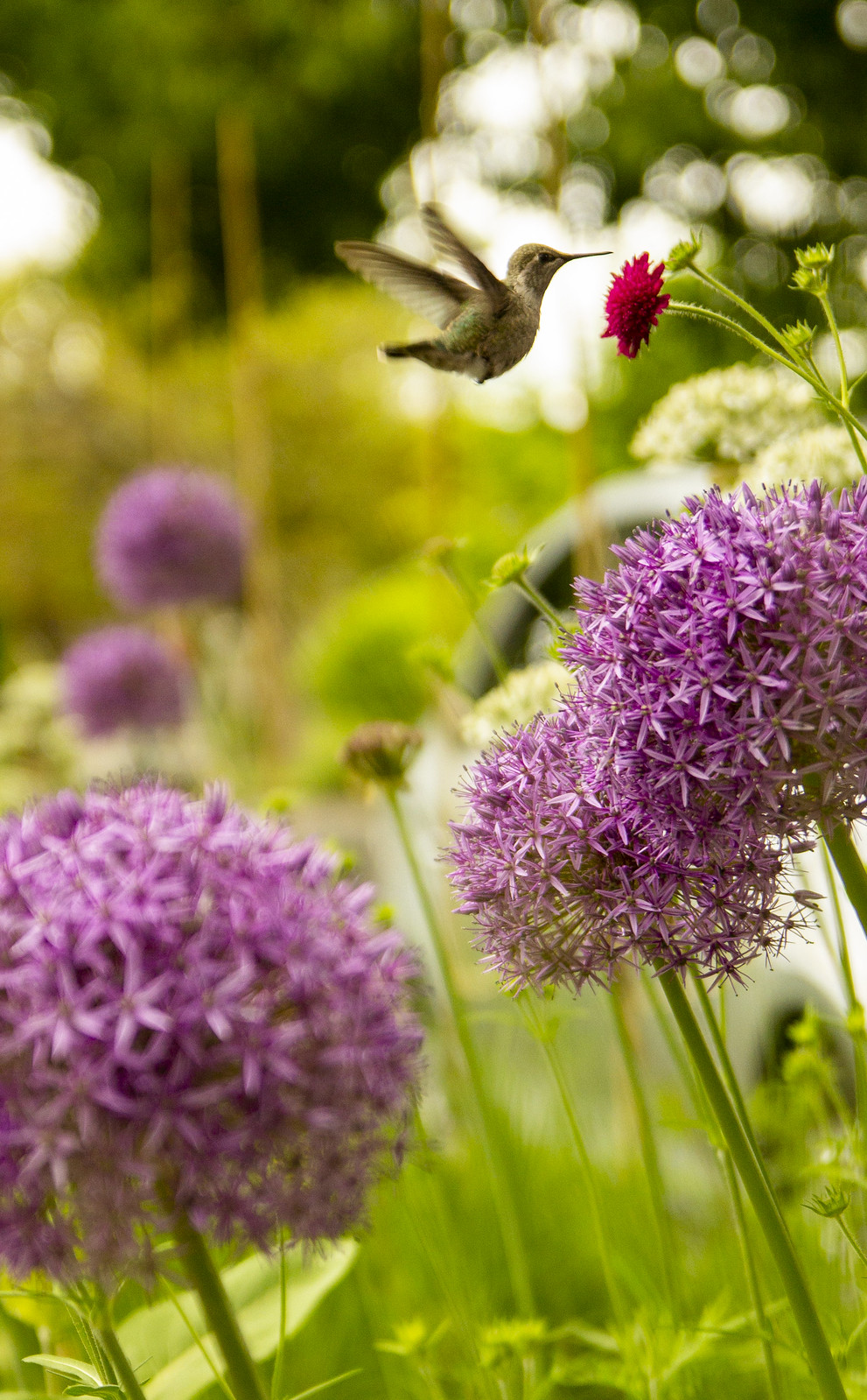 Hummingbird with Alliums and Knautia