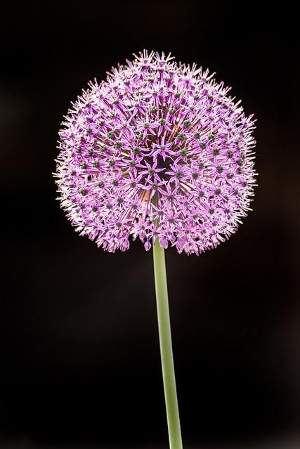 Allium 3-0 F LR 5-8-19 J627