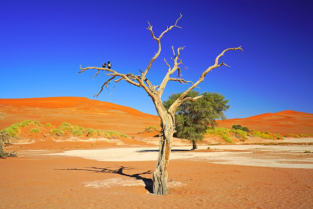 Couple of crows on the dry tree, Sossusvlei, Namibia