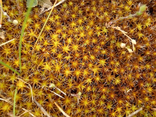 Syntrichia ruraliformis. Mwsog Serennog Euraidd. Golden Dune Moss.
