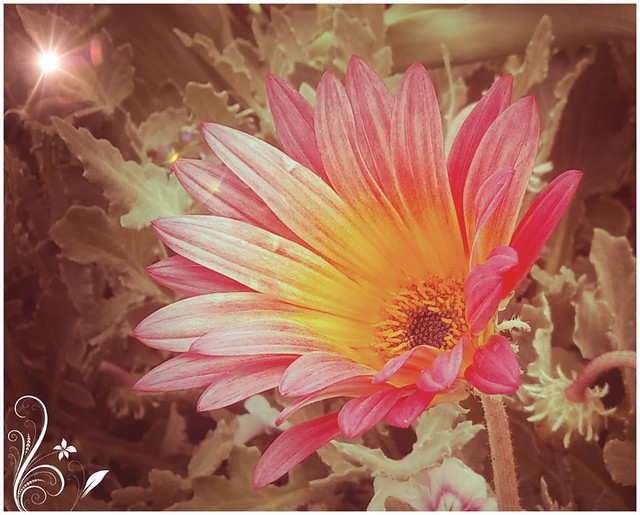 Lovely Flower, Cantigny Park. 59 (e5)
