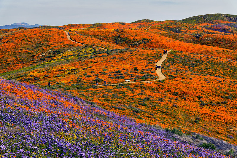 Wildflower Bloom - Antelope Valley California