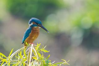 Kingfisher.........