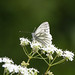 Green-veined white butterfly at Chesworth Farm, Horsham