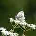 Green-veined white butterfly at Chesworth Farm, Horsham