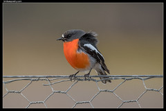Flame Robin: Settling In