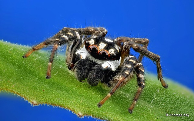 Jumping spider, Freya decorata, Salticidae