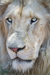 Another view of the male lion
