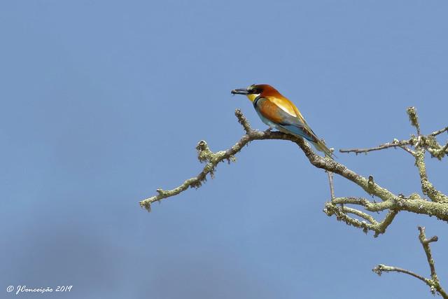 Abelharuco - Merops apiaster - European bee-eater