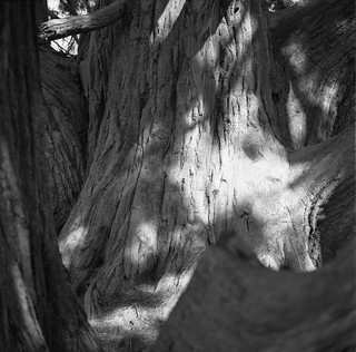 Tree, Somerleyton Gardens