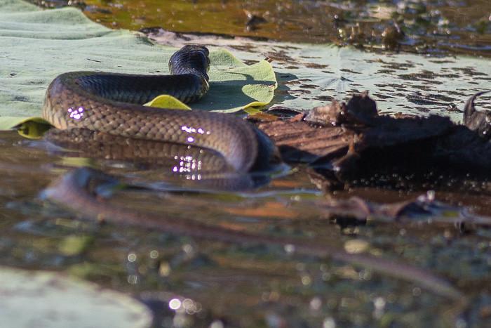 Keelback water snake