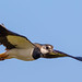 Lapwing Fly-By