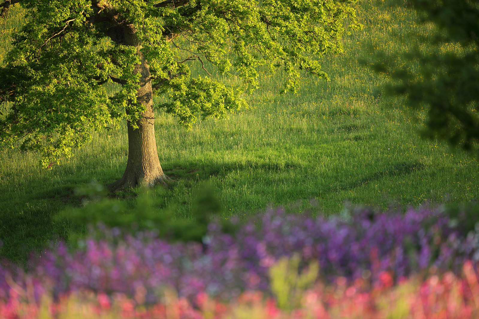 Oak Tree and Campion Meadow