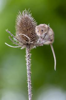 Herbert the harvest mouse