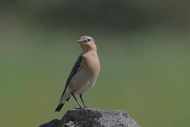 Northern Wheatear (Oenanthe oenanthe leucorhoa ) - female #2