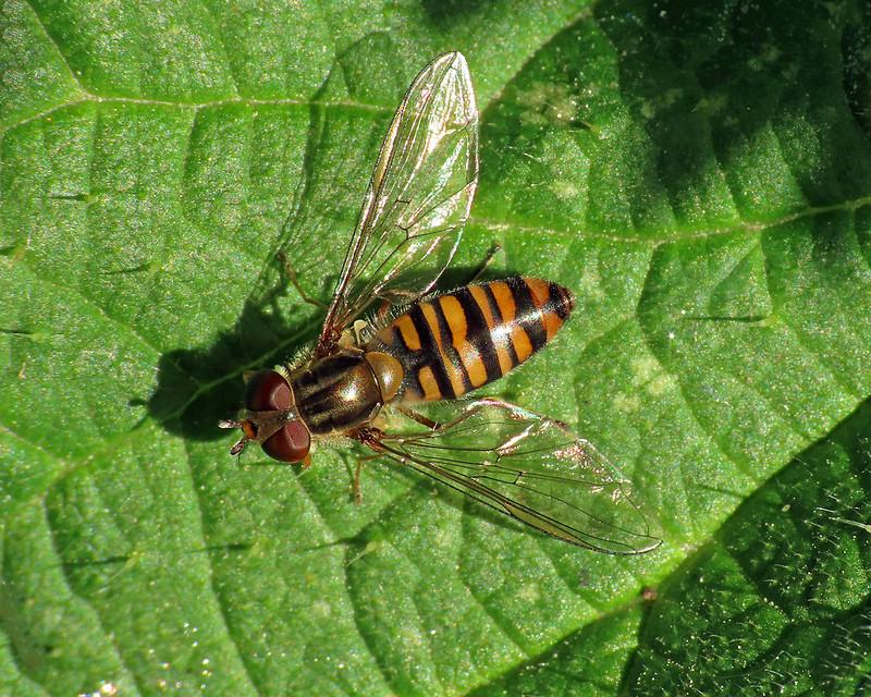 Marmalade Hoverlfy - Episyrphus balteatus