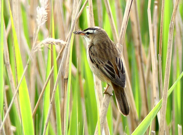 Sedge Warbler with insect 22.5.19