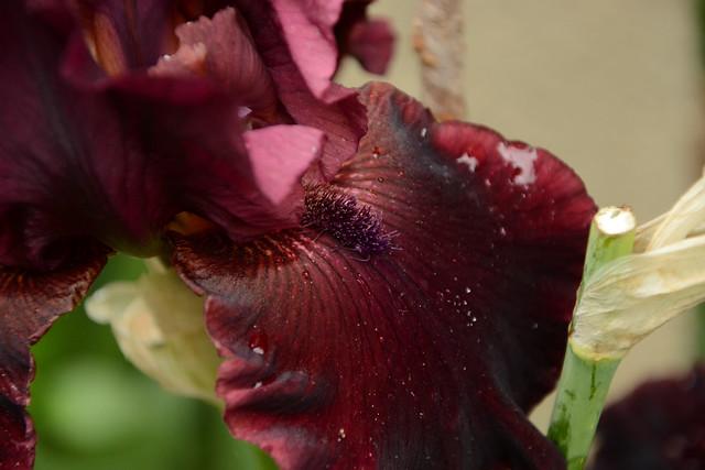 Iris 'Rio Rojo' - Schreiner 2009 47910253201_88703f69f7_z