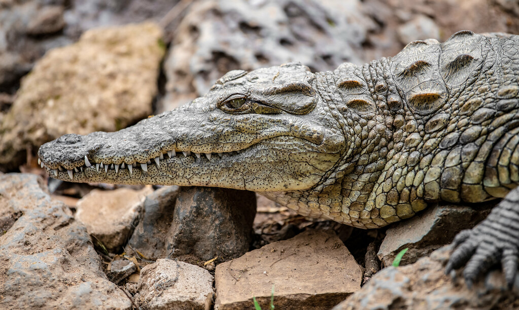 Nile Crocodile_6
