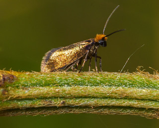 Micro moth | by Alf Branch