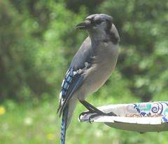 Blue Jay IMG_2721