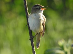 Sedge Warbler at Lunt Meadows Nature Reserve near Maghull, Merseyside, England - May 2019
