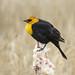 03 Yellow-headed Blackbird male