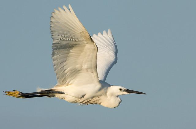 Startled egret