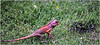Garden Lizard trying to feast on a colony of ants..