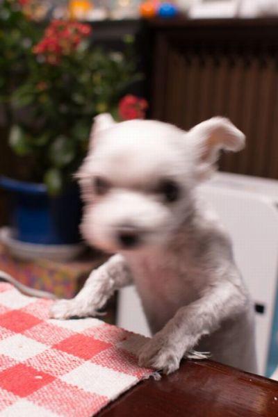 テーブルに手をかけるマルプーはる