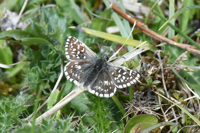 Grizzled Skipper butterfly at Heyshott Down