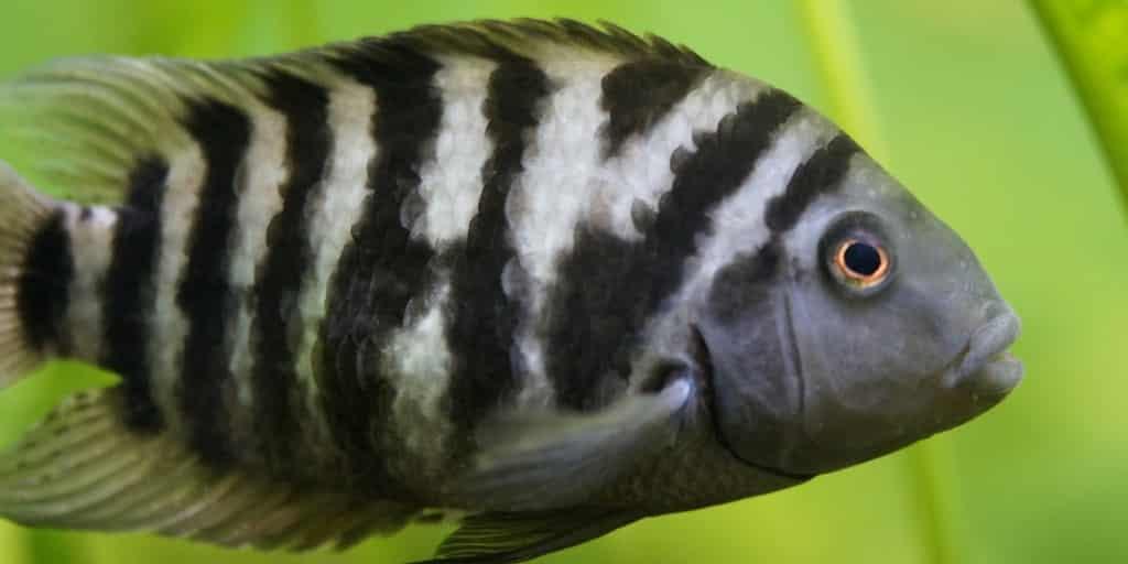 poisson-zèbre-maladie-mentale