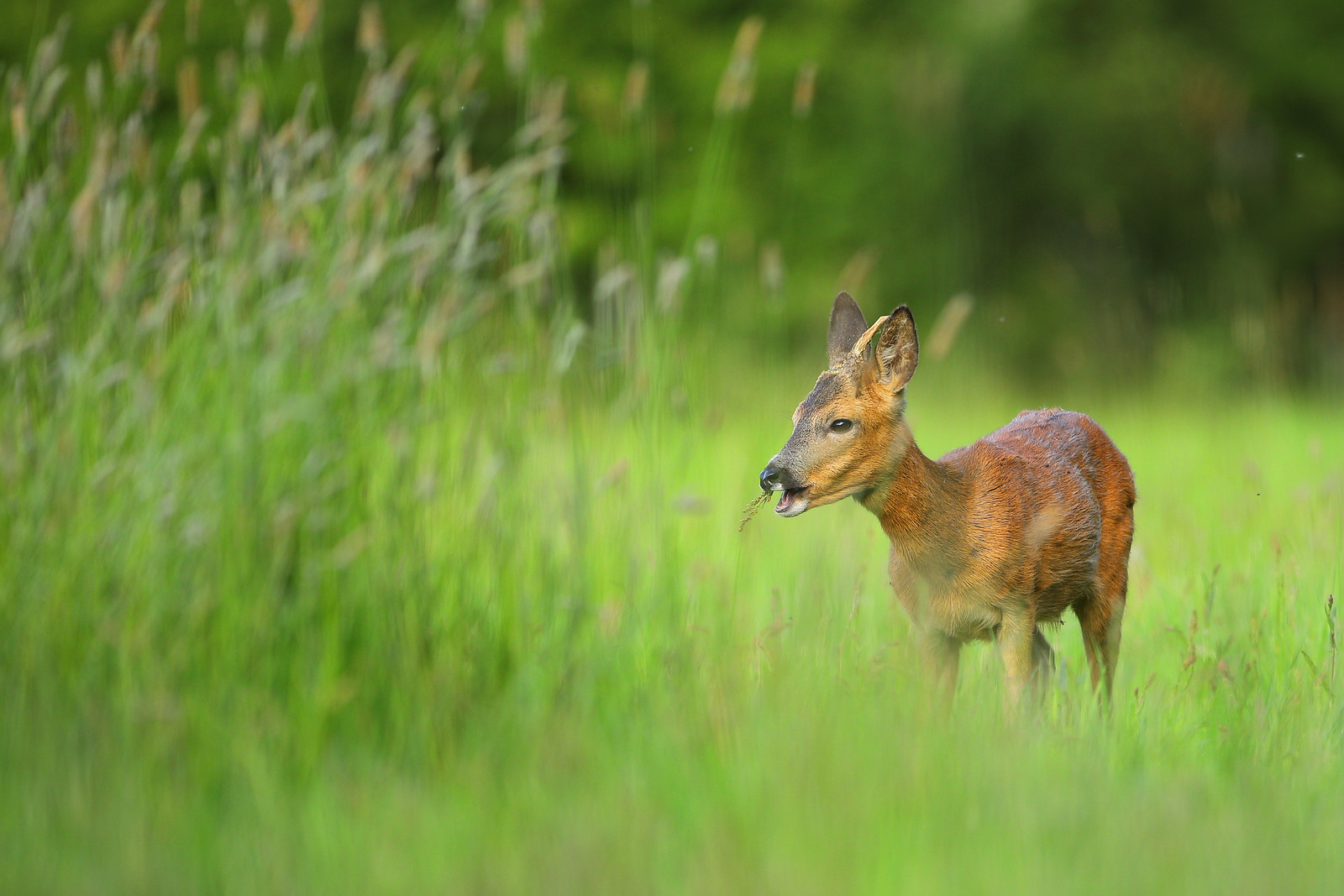 Yearling Roe Deer Grazing