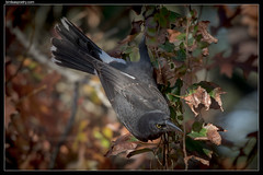 Pied Currawong: Vine dressing