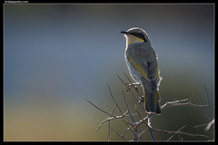 Singing Honeyeater: Rim Lit