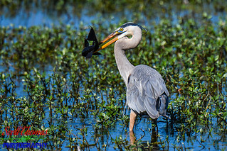 Great Blue Heron with Fish   by Scott Thomas Photography