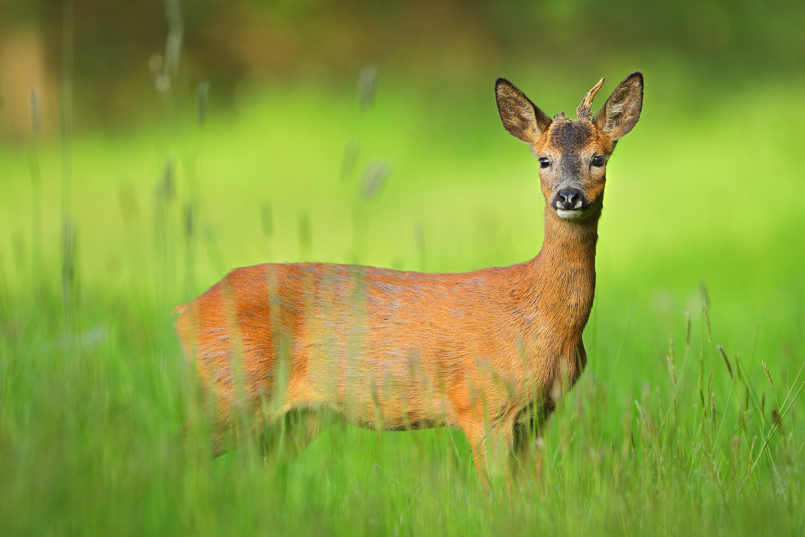 Roe Buck Yearling