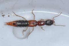 Homaeotarsus bicolor