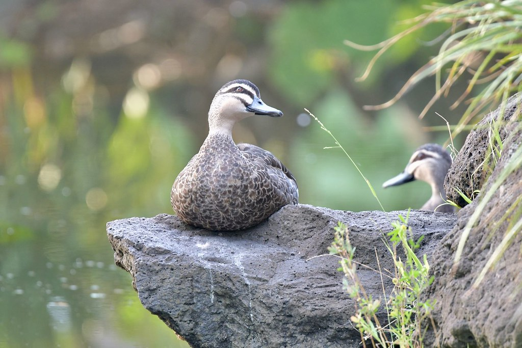 Pacific Black Ducks ( this is my best side )