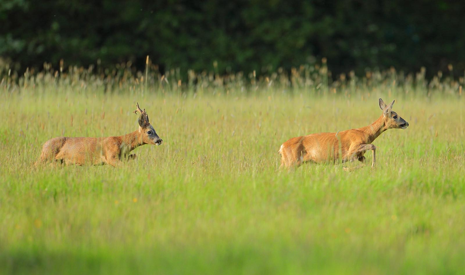 Roe buck chasing Doe