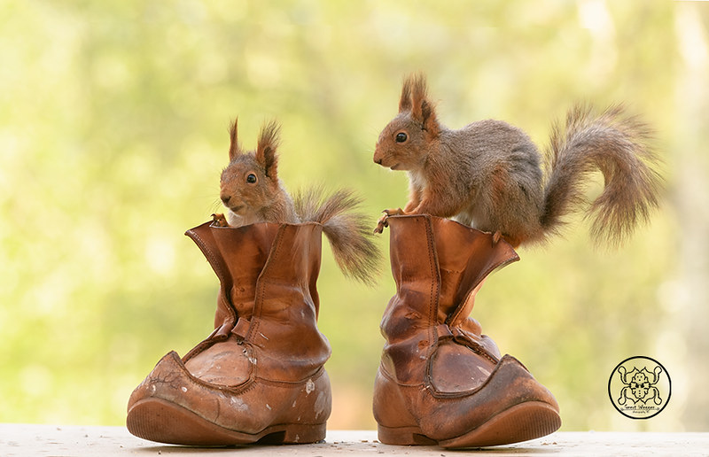 red squirrels standing on and inside shoes | red squirrels a… | Flickr