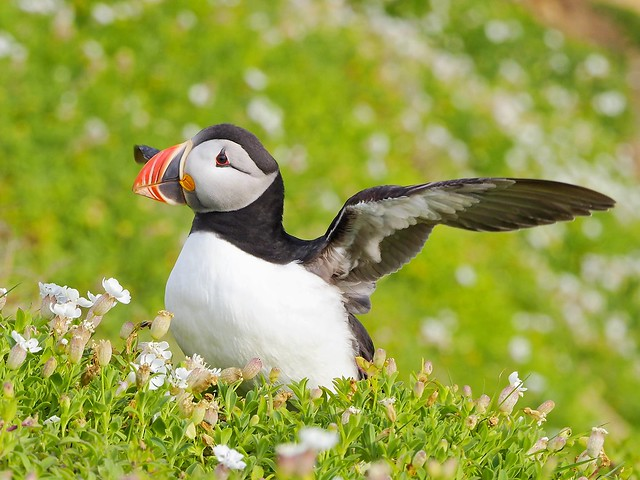 Frailecillo en las Islas Saltee - Irlanda.