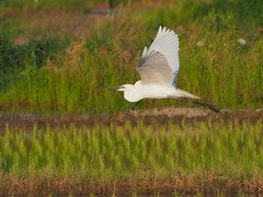 Great egret (Ardea alba, ダイサギ)
