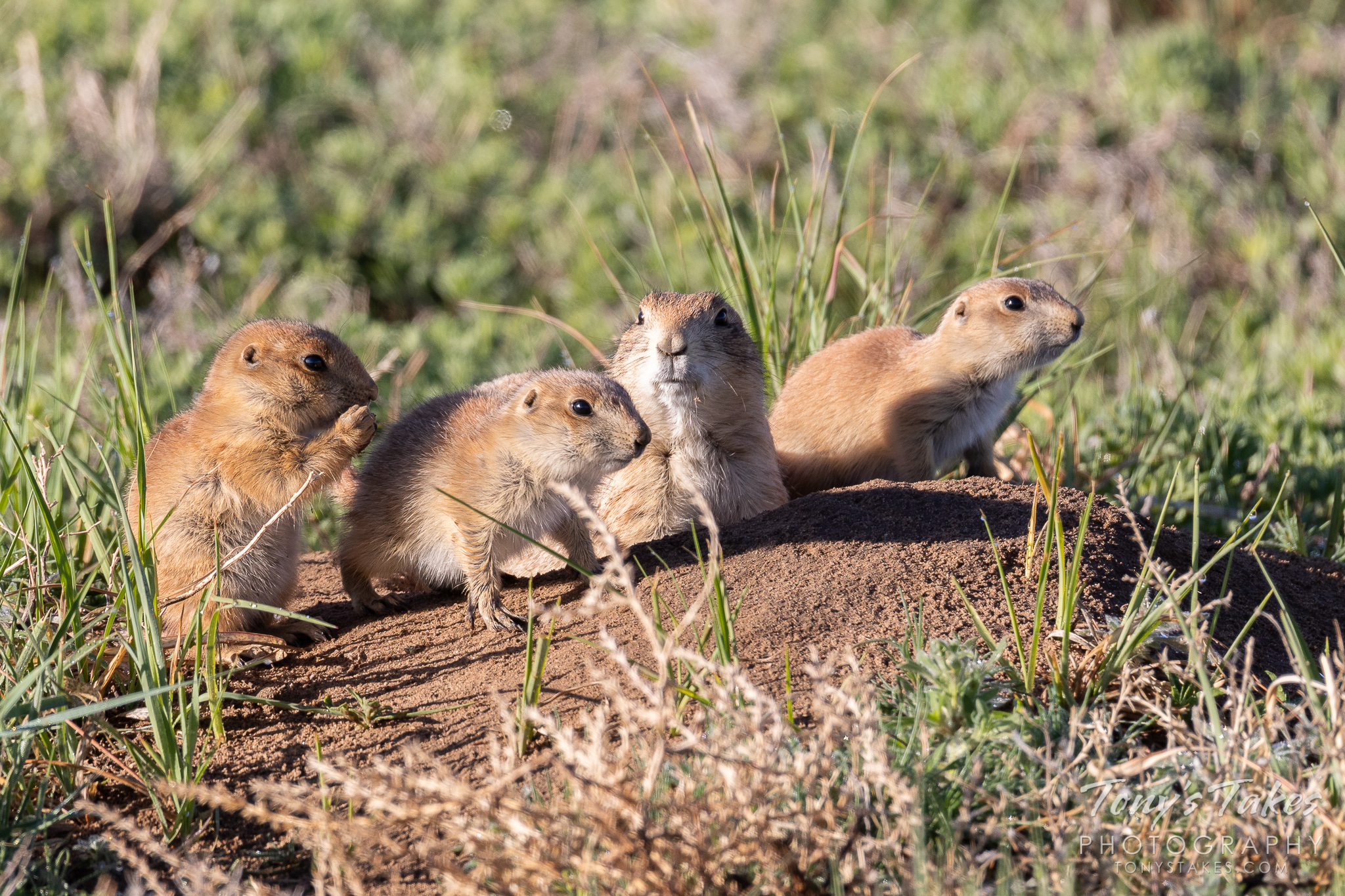 A prairie dog and her pups at the Rocky Mountain Arsenal National Wildlife Refuge. (© Tony's Takes)
