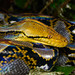 Reticulated Python - Photo (c) Rushen, some rights reserved (CC BY-SA)