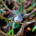 Rufous-georgetted Flycatcher ... ...