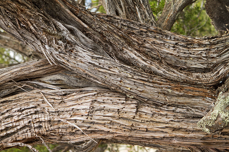 Datil Juniper Tree-15-7D1-052319