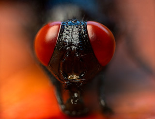 House Fly Red eyes macro photo